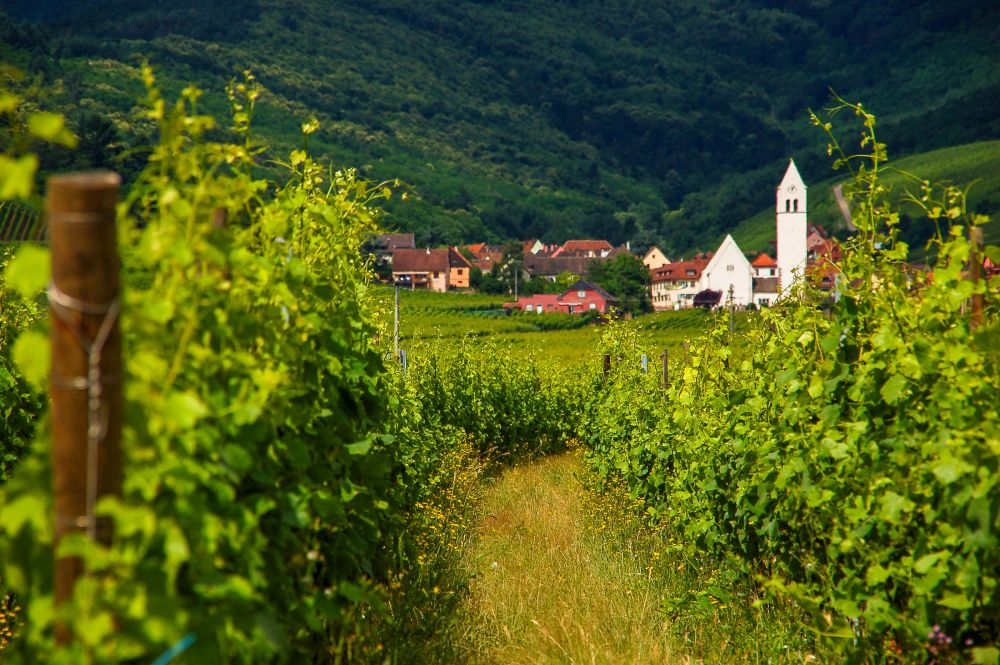 Photo de vignes en Alsace